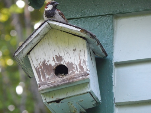 this house recently contained a family of sparrows while the wrens raised a family in the house below