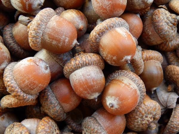 acorns (4) (1400x1050) (600x450)