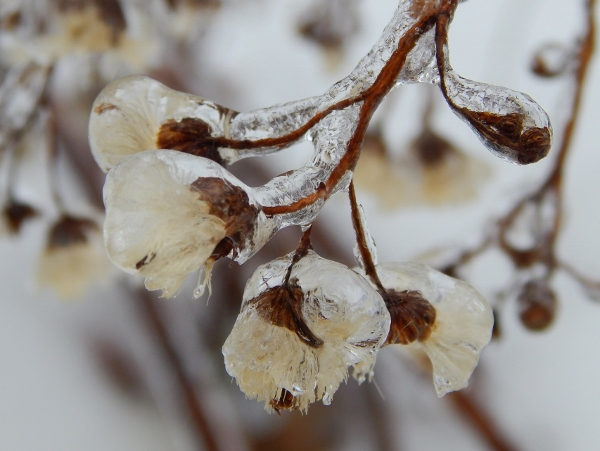 frozen flower (600x451)