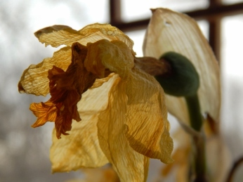 dried daffodil 2 copy (600x450)