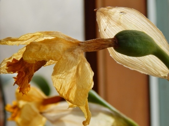 dried daffodil copy (600x450)