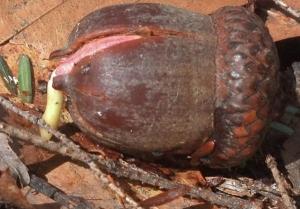 acorn (600x419)