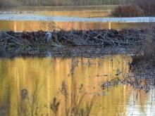 beaver pond on Cocheco River