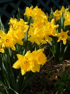 the bright yellow of daffodils add cheer while waiting for the trees to turn green