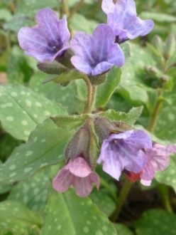 lovely lungwort buds emerge pink and turn to blue as they mature.