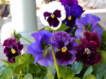 pansies can be planted very early withstanding light frosts and a late season snow