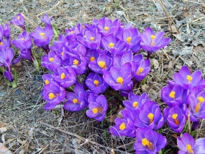patches of crocus brighten up the gray landscape as the snow melts.
