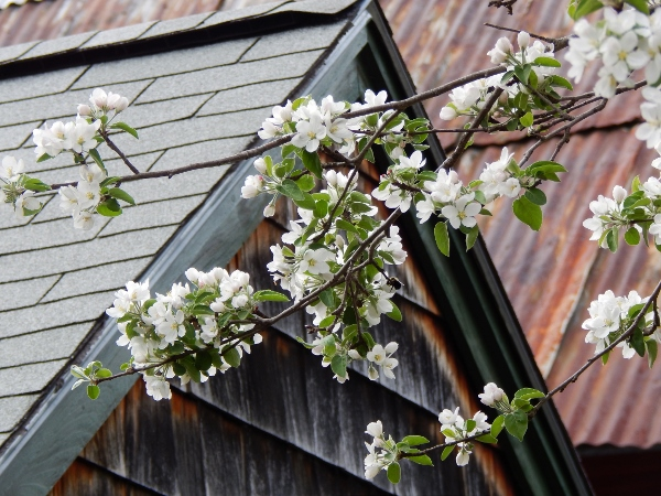 apple blossoms (600x450)