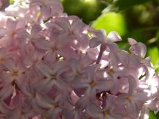 lilac close up (600x450)
