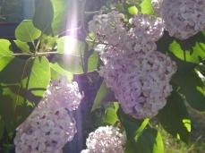 sunny lilacs (600x449)
