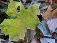 frossted maple leaf (800x600)