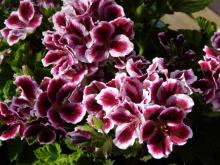 geranium (600x450)