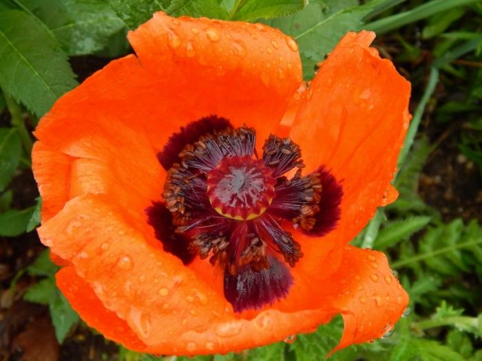 poppy vivid (800x600)