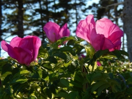 Beach Rose - Acadia National Park