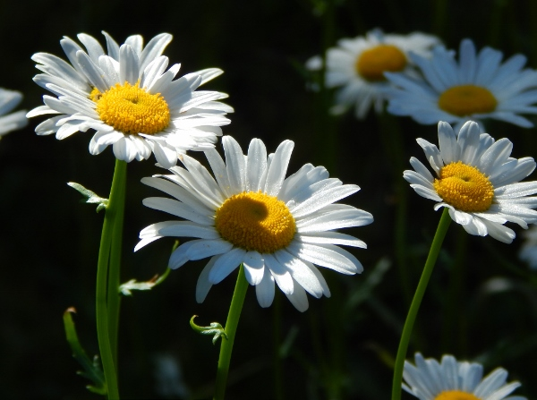 Daisies by the cottage