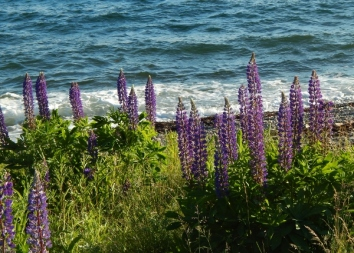 more lupine love