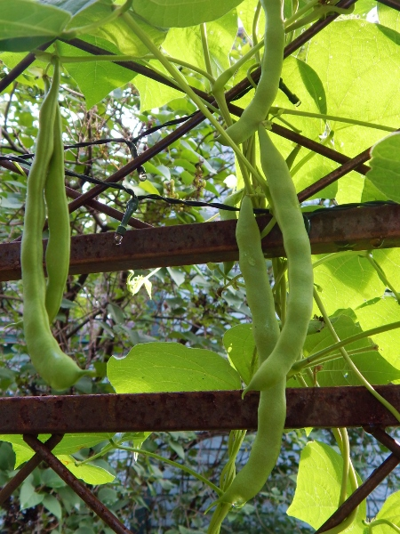 Kentucky Wonder pole beans ready to pick