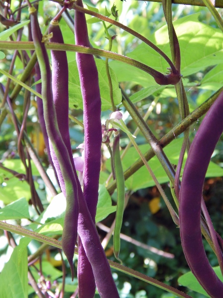 violetto beans - lovely!