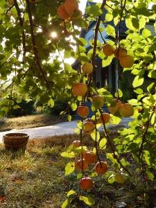 apple branch (450x600)