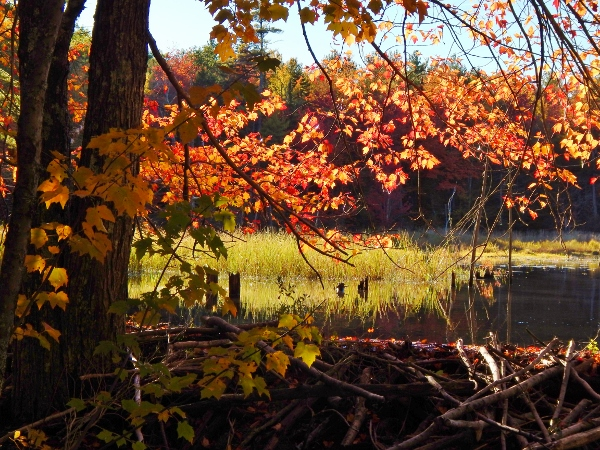 beaver dam red leaves (600x450)