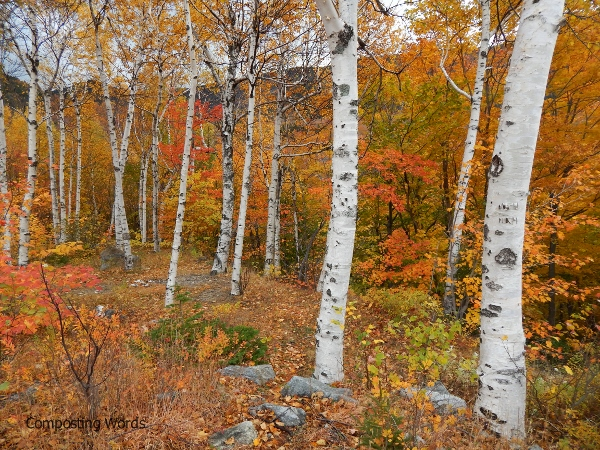birch trees in pinkham notch, new hampshire