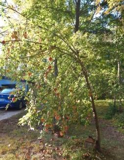 crooked apple tree