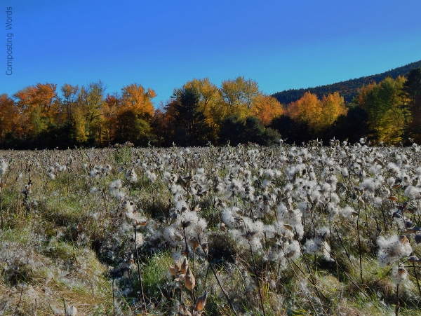 foliage & milkweed, Mt. Whittier, Ossipee, New Hampshire