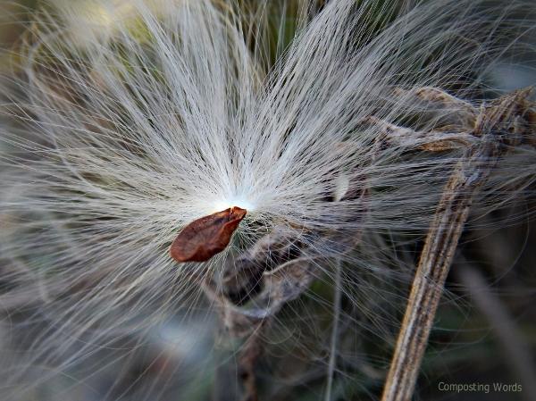 milkweed seed 4_pe_2 (600x449)