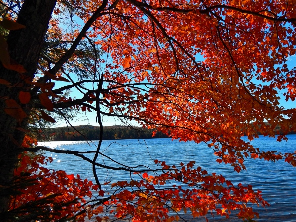red maple beside chocorua lake