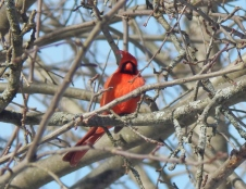 Male Cardinal in apple tree