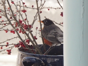 Robin eating winterberry